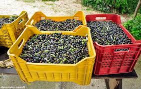cassette per raccolta olive olio extravergine d oliva biologico siciliano il trasporto all