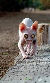 Hairless Cat Meme - image 695258 damn nature you scary know your meme