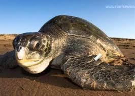 imagenes tortugas verdes cada día más cerca la reserva marina para tortugas verdes de arica