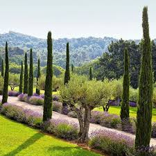 best 25 cypress trees ideas on privacy trees fast