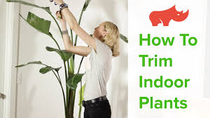 how to trim indoor plants youtube