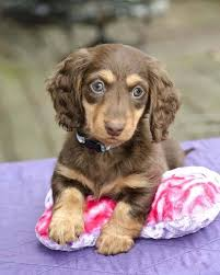 dogs with curly hair and floppy ears thoses eyes cute animals pinterest eye and animal