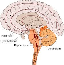 Thalamus Part Of The Brain Cannon U2013bard Theory Wikipedia