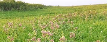 North Dakota travel pod images Milkweeds and monarchs north dakota game and fish jpg