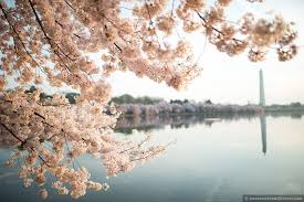2018 washington dc cherry blossom peak bloom forecasts