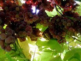 gabriel nagmay dot com archive backyard wine experiment