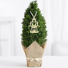 Christmas Plants Traditional Christmas Plant Gifts Mini Christmas Trees