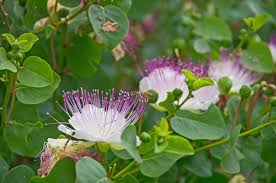 hardest plant to grow growing capers u2013 information on growing a caper bush