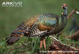 ocellated turkey photos and facts meleagris ocellata