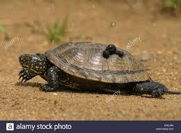 Ringed Map Turtle Horizontal Leeches Stock Photos U0026 Horizontal Leeches Stock Images
