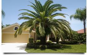 sylvester palm tree sale canary palm cape coral