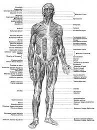 muscle worksheets for anatomy muscle anatomy worksheet anatomy