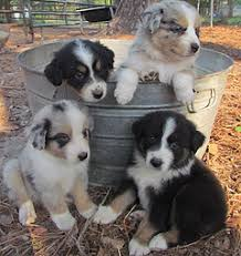 australian shepherd in spanish spanish oaks akc australian shepherd austin texas puppies for sale