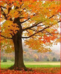 100 best sugar maple trees images on sugar maple tree