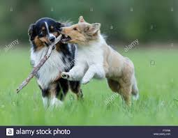australian shepherd your purebred puppy australian shepherd and rough collie puppy playing with a