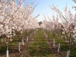 trees manza family farm