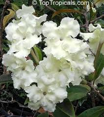 Fragrant Tropical Plants - lady of night the smell of this flower is amazing but it u0027s