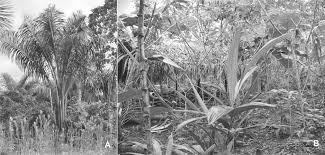 management of the palm astrocaryum chambira burret arecaceae in