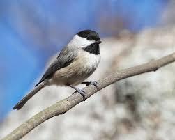 birding with bobay carolina black cappeds
