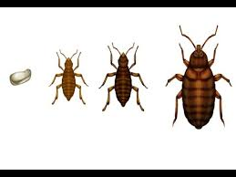 What Causes Bed Bugs To Come Out How To Kill Bed Bugs Youtube