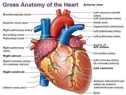 Anatomy And Physiology Muscle Labeling Exercises Heart Anatomy Labeling Quiz At Best Way To Study Anatomy And