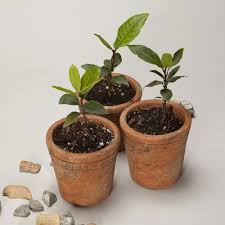 potted bay leaf trees the growers exchange