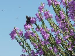 native plants in texas white cloud texas sage u2013 tjs garden