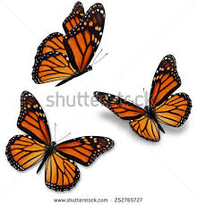 three monarch butterfly isolated on white stock photo 252765727
