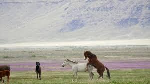 mustangs mating motion horses mating in the desert in utah stock