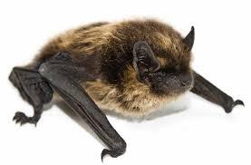 small bat bat exclusion advantage pest inc