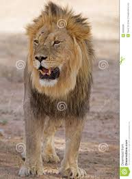 male lion wallpapers close up of male lion standing in shade royalty free stock images