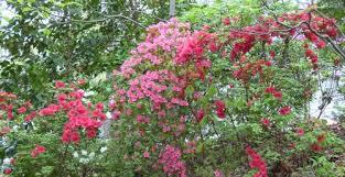 Fertilizer For Flowering Shrubs - georgia backyard nature flowering shrubs