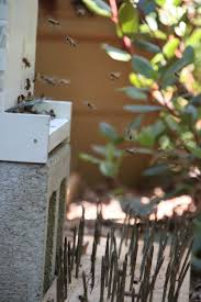 skunks frequently torment beehives close to the ground immune to