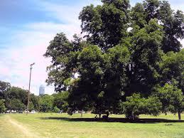 heritage oak tree in zilker athletic fields free summer photos
