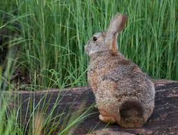 go in search of hares and rabbits this easter wild card