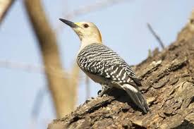 California Backyard Birds by Backyard Bird Identification Pileated Woodpecker Downy Woodpecker