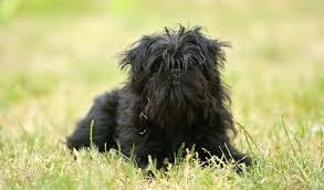 affenpinscher vs yorkshire terrier affenpinscher breed information