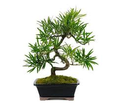 80 best home decor ideas bonsai trees for sale images on