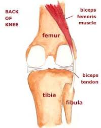 Back Knee Anatomy Structures Of The Posterolateral Corner Kneeguru