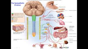 Nervous System Human Anatomy Chapter 15 The Autonomic Nervous System And Visceral Reflexes
