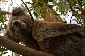 High Koala Meme - travels with jelly