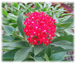 Pentas Flower Butterfly Red Pentas Lanceolata Proven Winners
