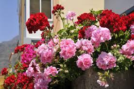 fleurs vivaces rustiques les fleurs annuelles à semer sans modération