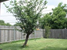 best backyard trees to plant backyard and yard design for village