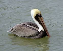 Louisiana birds images State bird of louisiana brown pelican jpg