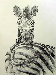 drawn zebra graphite pencil and in color drawn zebra graphite