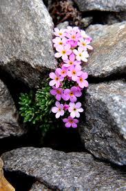 Scottish Rock Garden Forum by 37 Best Rockery Images On Pinterest Flower Gardening Gardening