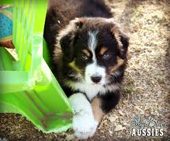 australian shepherd coat colors australian shepherd colors aussie color chart and dog food