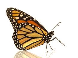 monarch butterfly danaus plexippus side view photograph