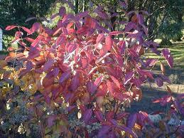 shrubs fall winter interest cedarlawn metrowest
